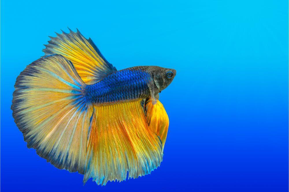Betta Fish Need a Light