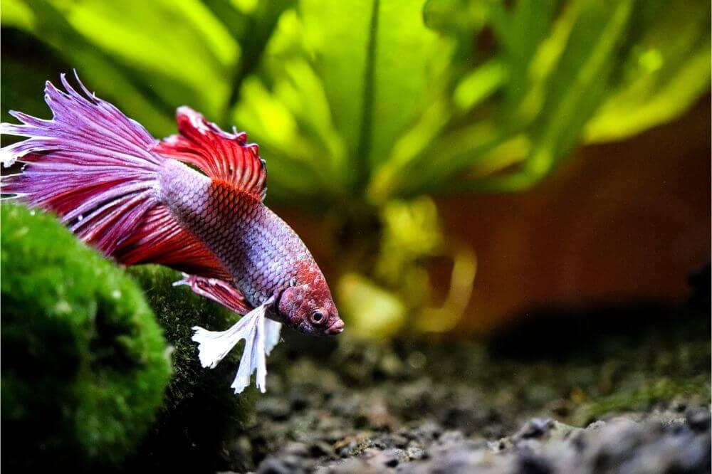 Why Isn't My Betta Fish Moving